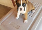 My boxer puppies