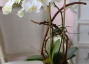 Hollywood dream - orchid arrangement