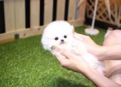 Gorgeous t-cup pomeranian puppies! for sale
