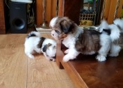 Healthy shi tzu pups ready to go