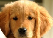 Choosing the english cream golden retrievers