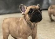 Cute lovely french bulldog puppies 518-512-9567