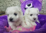 Teacup maltese puppies | males & females