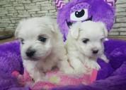 Teacup maltese puppies | males & females