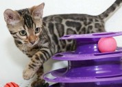 Beautiful bengal kittens available