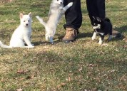 Male and female pomsky puppies for a good home