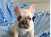 Blue  French Bulldog Puppies.