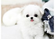 Teacup puppies for sale from top bre eder in usa
