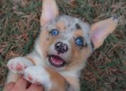 Gorgeous pembroke welsh corgi puppies
