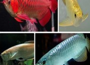 Arowana fish for sale in united states