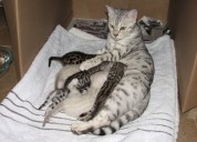 Excellent/healthy/cute bengal kittens for adoption