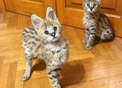 Well socialized f1 and f2 savannah kittens avail