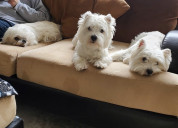 Quality west highland terrier puppies