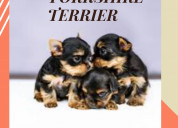 Yorkshire terrier one black and one brown puppies