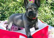 Cute & playful french bulldog puppies for sale
