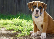 Boxer puppies for sale - central park puppies