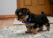 Two yorkies  puppies