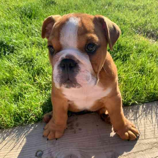 English Bulldog FORSALE