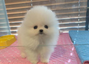 Micro pomeranian puppies for sale | akc