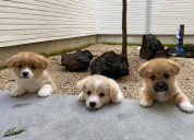 Beautiful pembroke welsh corgi puppies available