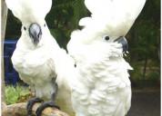 Umbrella cockatoos for sale