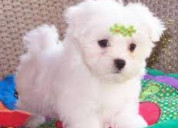 Cute white maltese puppies for rehoming