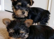 Charming  yorkie puppies for sale text :(551) 888