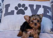 Yorkie puppies for sale text :(551) 888 -3483