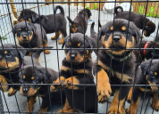 Awesome rottweiler puppies for sale