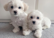 Adorable male and female maltese puppies