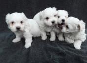 Maltese pups ready