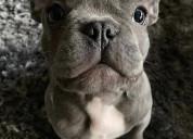 French bulldog puppies text 707 892 4504.