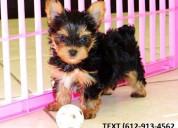 Mini teacup yorkie puppies for free adoption