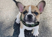 Looking for frenchies? text 435 625 1683