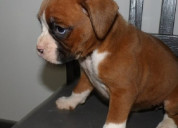 Lovely boxer puppies