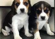 Nice beagle puppies