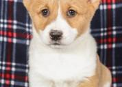 Cute pembroke welsh corgi puppies for adoption,