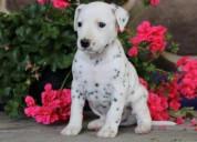 Adoption dalmatian puppies