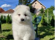 Adoption samoyed puppies