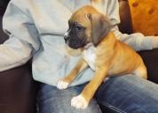 Loving boxer puppies